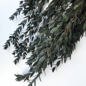 Preserved Eucalyptus parvifolia, green