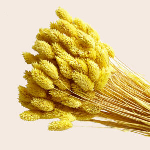 Dried Phalaris, Yellow