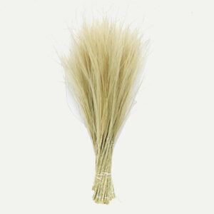 Dried Stipa Pennata, Natural