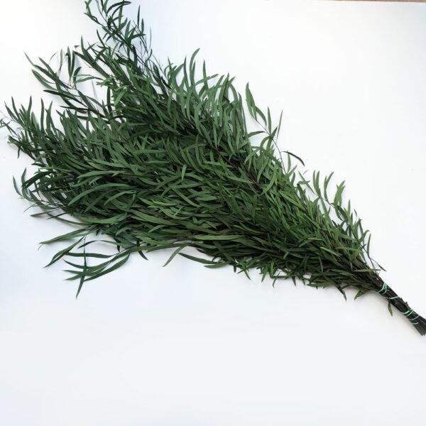 Preserved Eucalyptus nicoli, green
