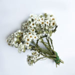 Ixodia, natural white, 20cm, 10 stem bunch