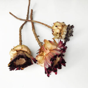 Dried Protea Neriifolia 35-40cm