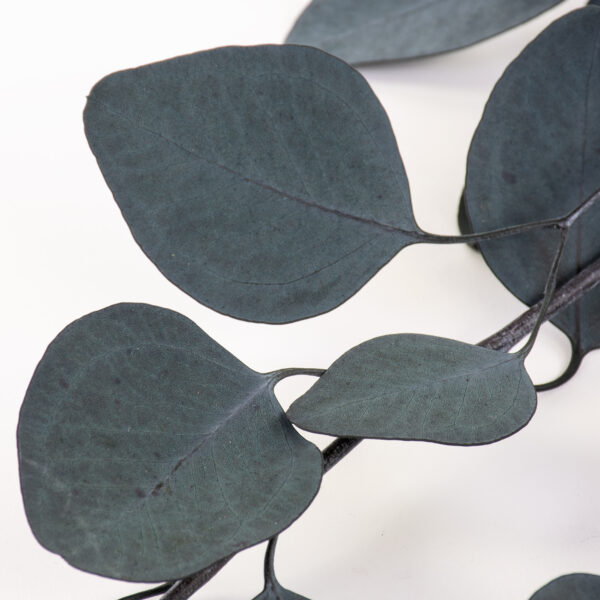 This is a bunch of green eucalyptus populus, laid on a white background