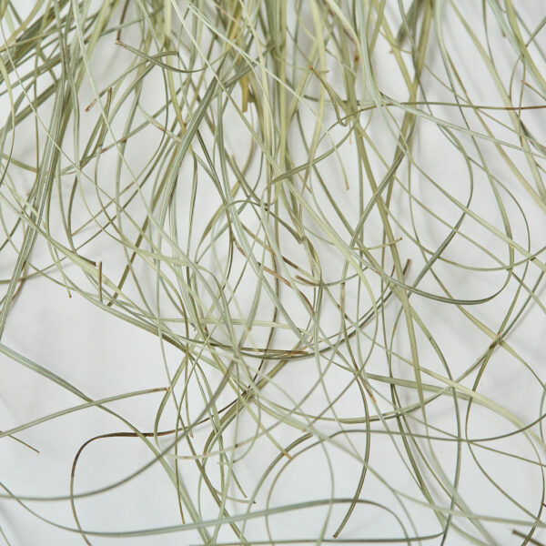 This a close up image of bear grass, showing the delicate green and white hues of each blade.