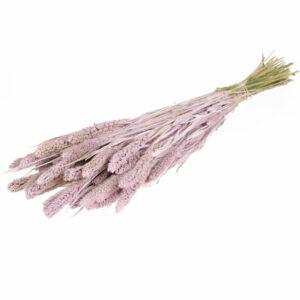 Dried Setaria Lilac Misty
