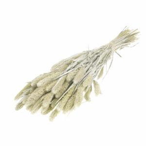 Dried Setaria Grass White Misty