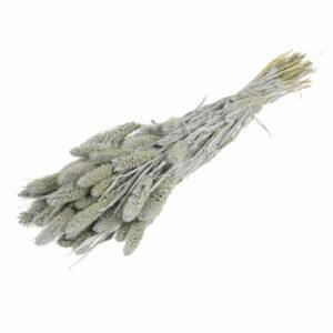 Dried Setaria Grass Grey Misty