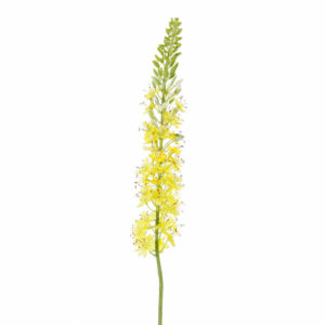 Faux Eremurus, foxtail lily, yellow