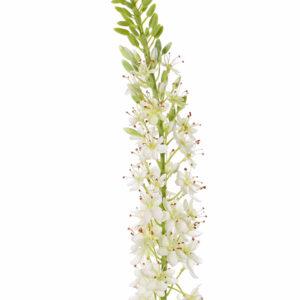 Faux Eremurus, foxtail lily, White