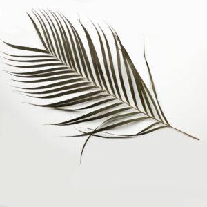 Dried Areca Palm Leaves