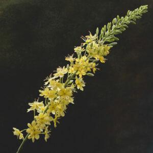 Faux Eremurus, Foxtail Lily, Yellow