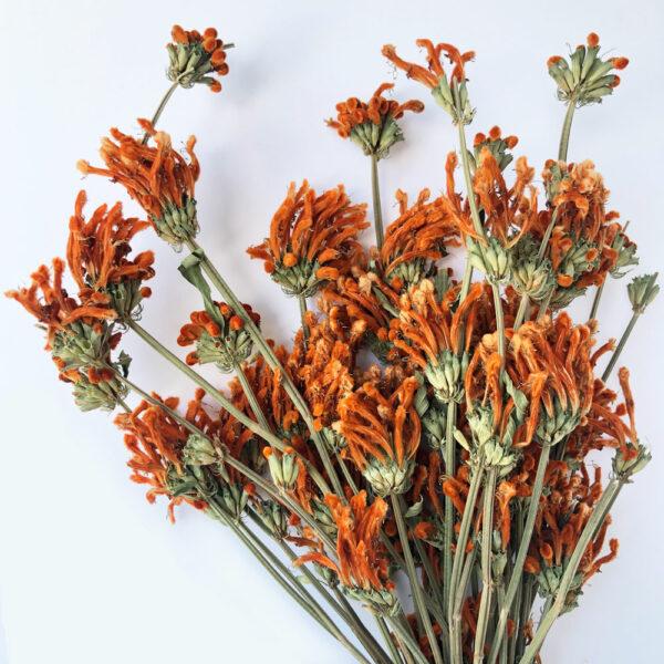 Dried Leonitis, Orange Bunch