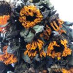 Dried Sunflower Helianthus