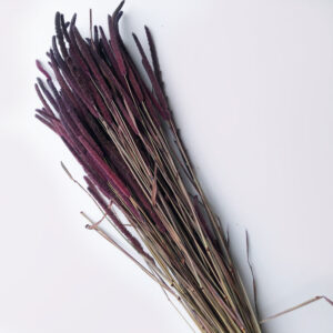 Dried Phleum, Timothy Grass, Purple Flame