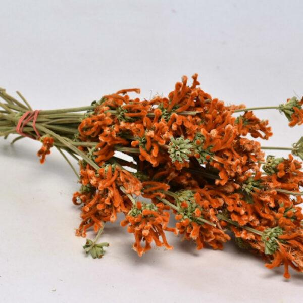 Dried Leonotis, Orange Bunch