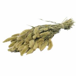 Dried Setaria