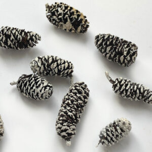 Birch Cone, (alder), Natural with White Tips