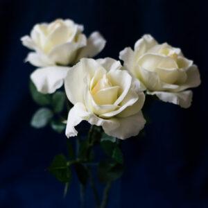 Faux Rose Carol, Cream