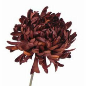 Chrysanthemum, brown