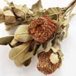 Dried Banksia coccinea, natural