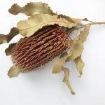 Dried Banksia menziesii, natural