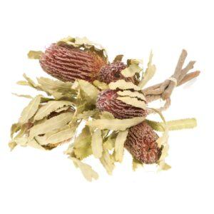 Dried Banksia menziesii, natural