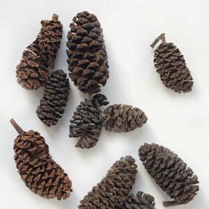 Birch Cone, (alder), Natural