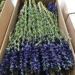 Dried Delphinium Natural Blue