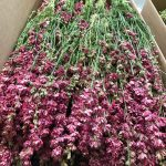 Dried Delphinium Natural Pink Bunch