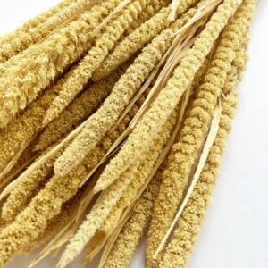 Dried Setaria, italica, Ecru
