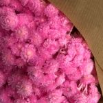 Dried Immortelle pink
