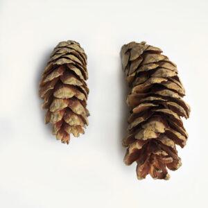 Strobus Cone, Natural