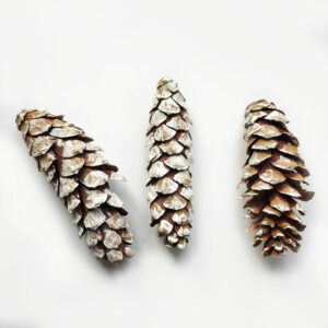 Strobus Cone, Natural with White Tips