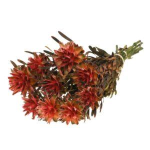 Plumosum female preserved red