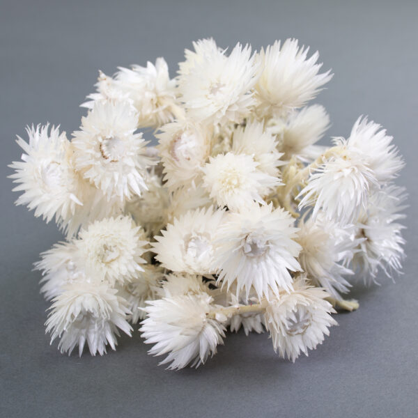 This image shows a bunch of white Helichrysum Vestitum Capsbloem, laid on a grey background.
