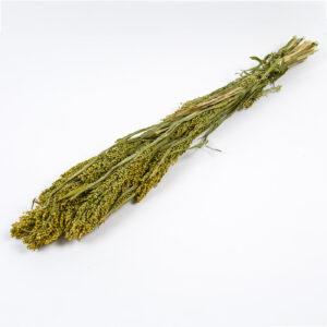 Panicum Grass Natural Green