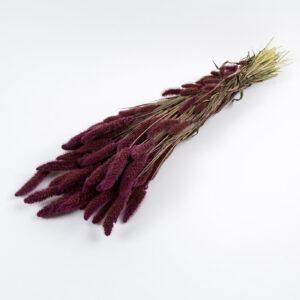 Setaria Grass Purple