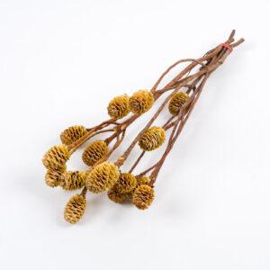 Sabulosum cones, bleached
