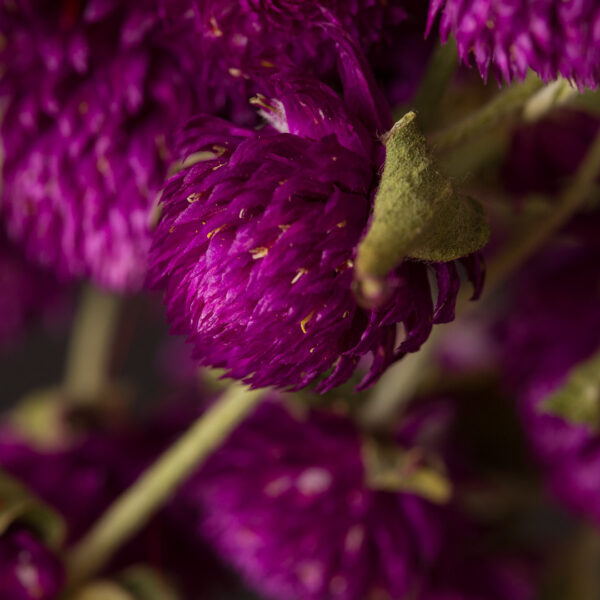 Gomphrena Purple