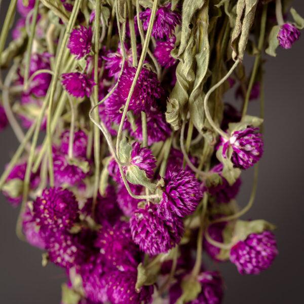 Gomphrena, Purple Bunch
