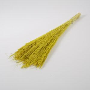 Piumetta grass yellow