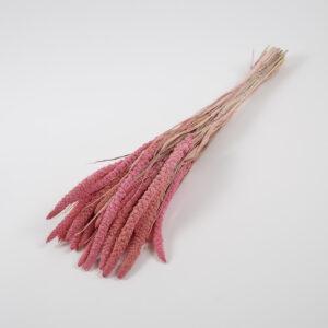 Setaria Erecta Pink Bunch