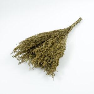 Solidago, natural bunch