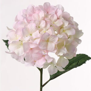 Hydrangea Imperial, White/Pink