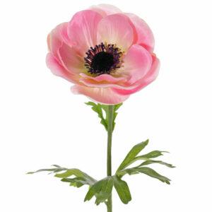 Anemone Mia, Pink