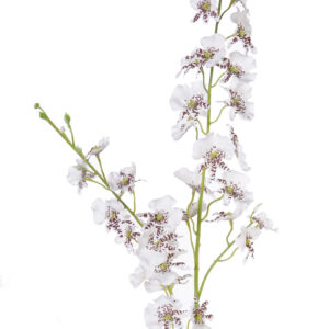 Oncidium Orchid, White