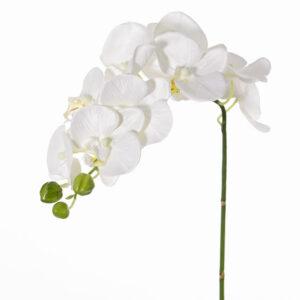 Phalaenopsis Orchid, Noa, White