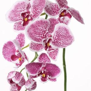 Phalaenopsis Orchid, Violet