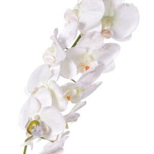 Phalaenopsis Orchid, Snow