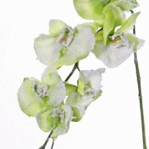 Snowy Phalaenopsis Orchid, Green